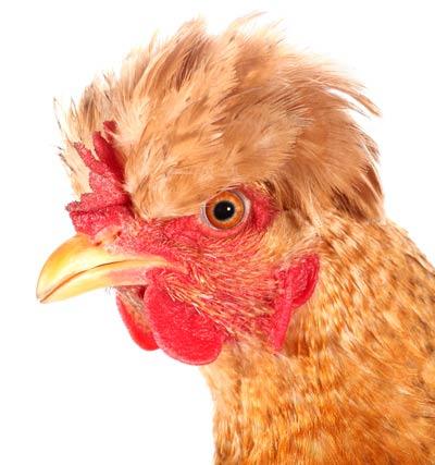 pollo 2 Vamos a montar el pollo